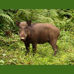 گراز-خوک-وحشی